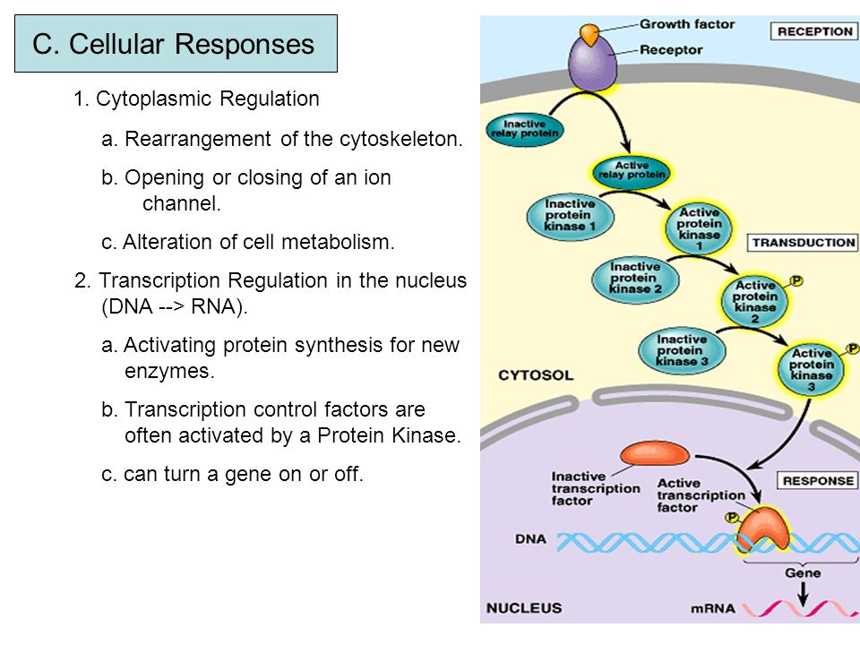 1. Cytoplasmic Regulation
