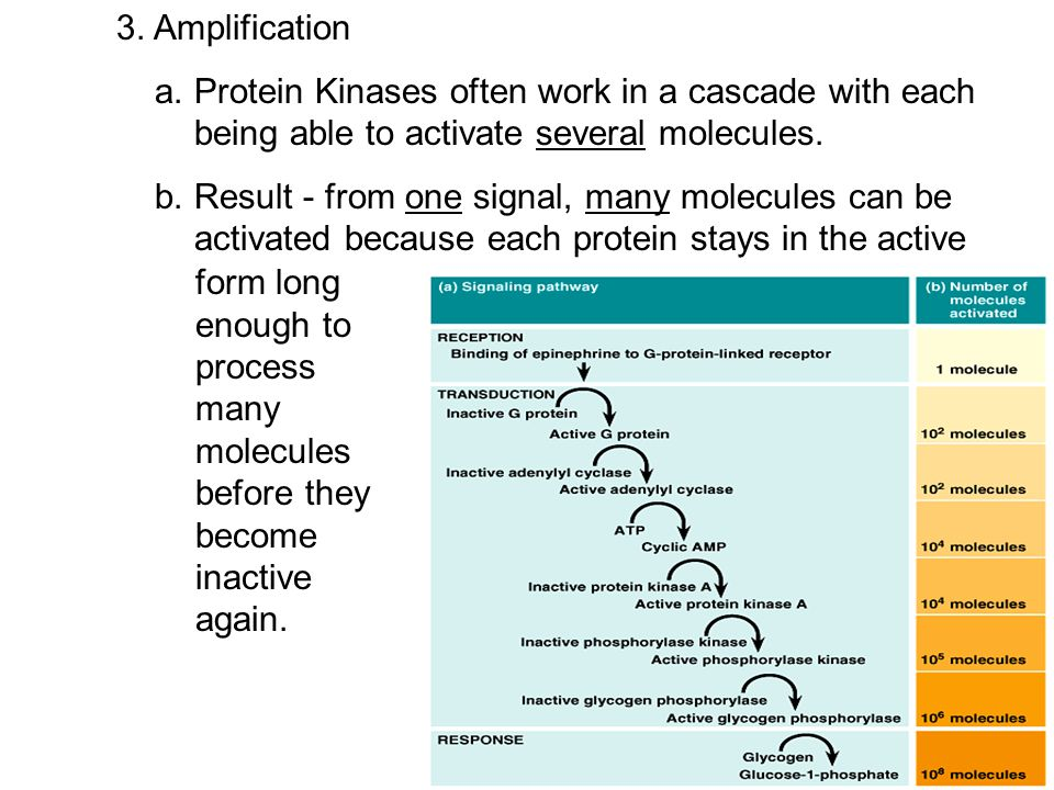 3. Amplification a. Protein Kinases often work in a cascade with each being able to activate several molecules.
