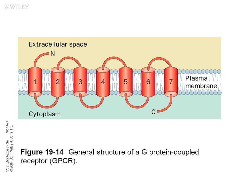 Figure 19-14 General structure of a G protein-coupled receptor (GPCR).