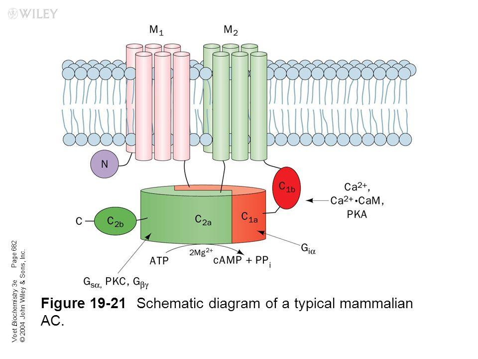 Figure 19-21 Schematic diagram of a typical mammalian AC.