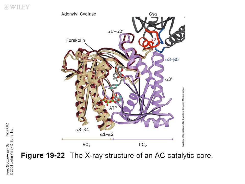 Figure 19-22 The X-ray structure of an AC catalytic core.