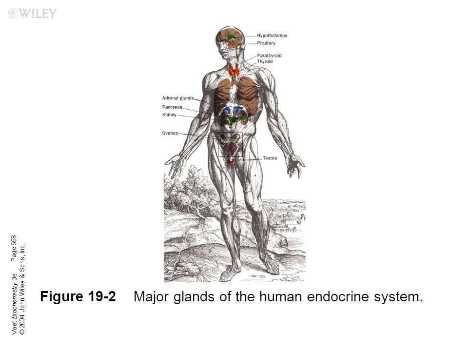 Figure 19-2 Major glands of the human endocrine system.