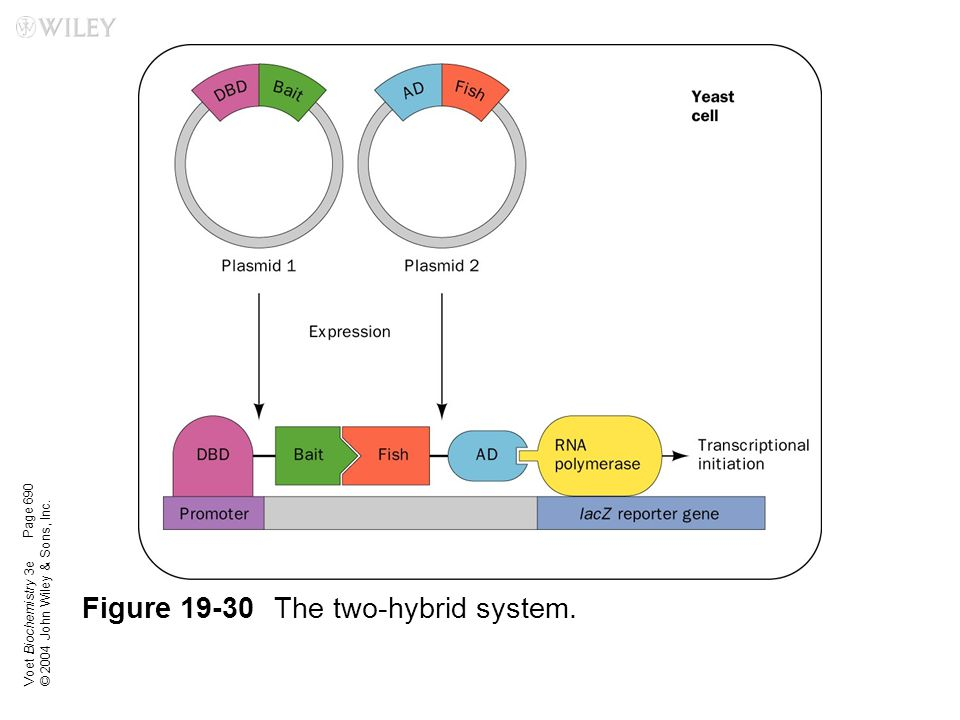 Figure 19-30 The two-hybrid system.