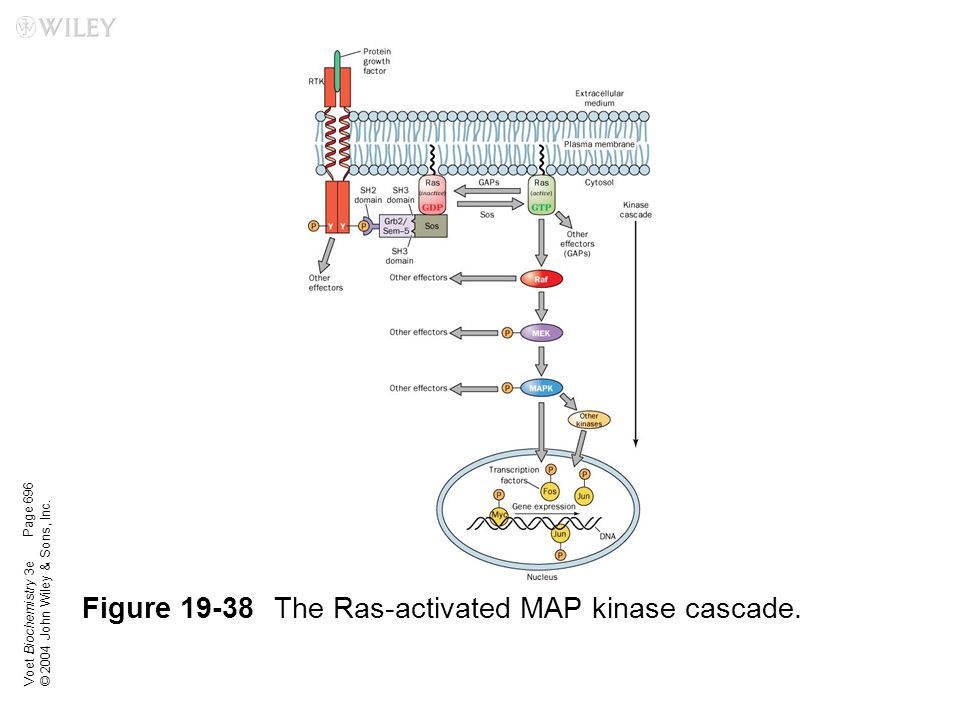 Figure 19-38 The Ras-activated MAP kinase cascade.