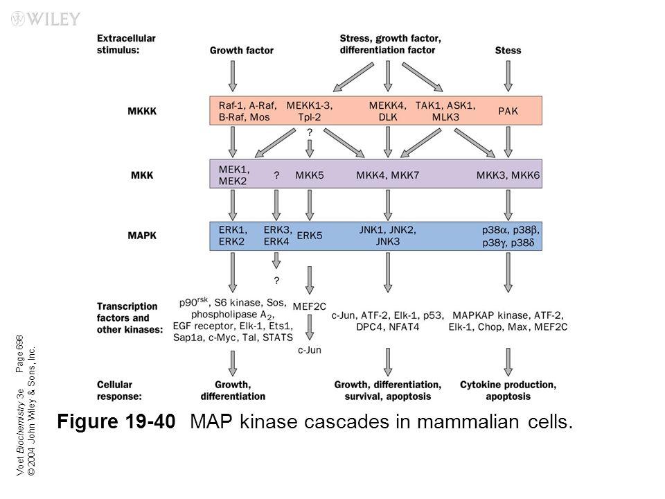 Figure 19-40 MAP kinase cascades in mammalian cells.