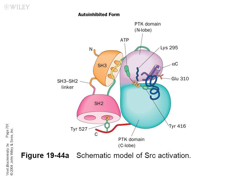Figure 19-44a Schematic model of Src activation.