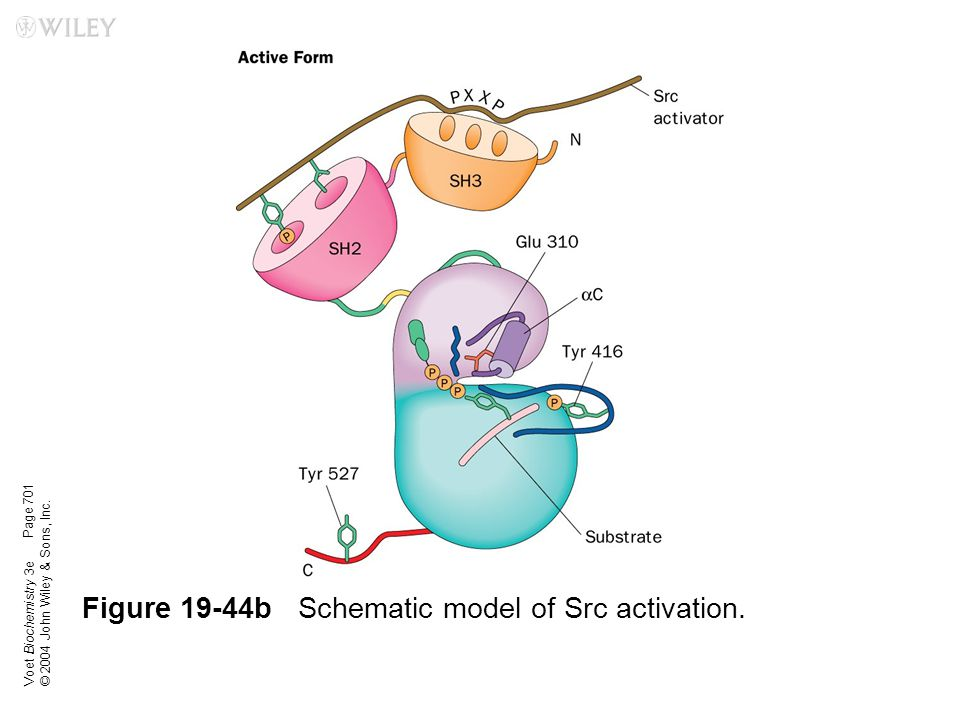 Figure 19-44b Schematic model of Src activation.