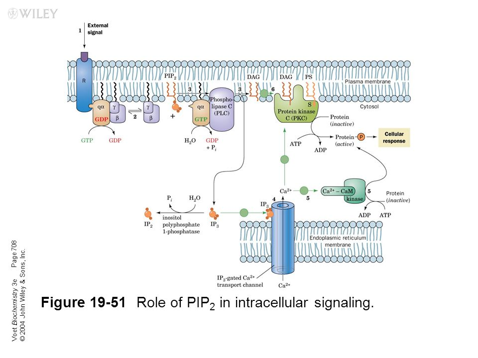 Figure 19-51 Role of PIP2 in intracellular signaling.