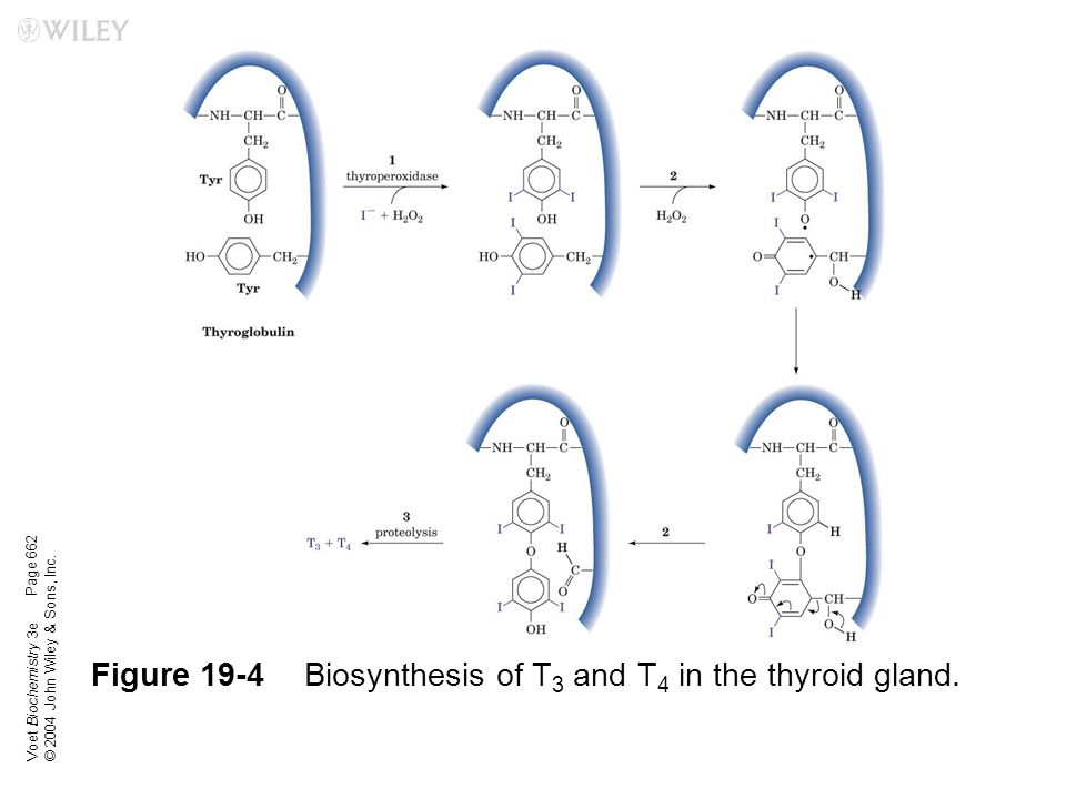 Figure 19-4 Biosynthesis of T3 and T4 in the thyroid gland.