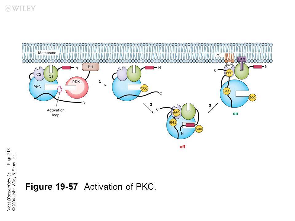 Figure 19-57 Activation of PKC.