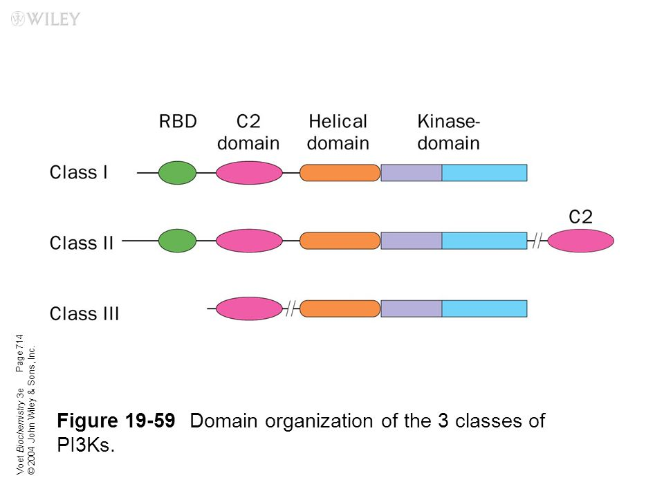 Figure 19-59 Domain organization of the 3 classes of PI3Ks.