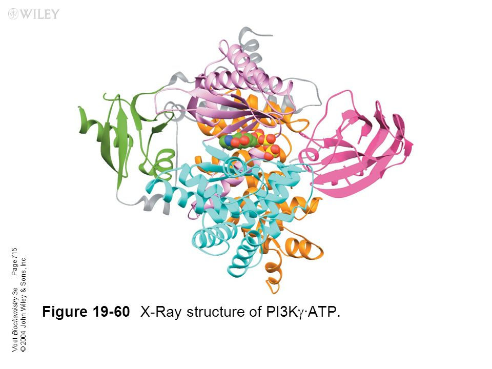 Figure 19-60 X-Ray structure of PI3Kg·ATP.