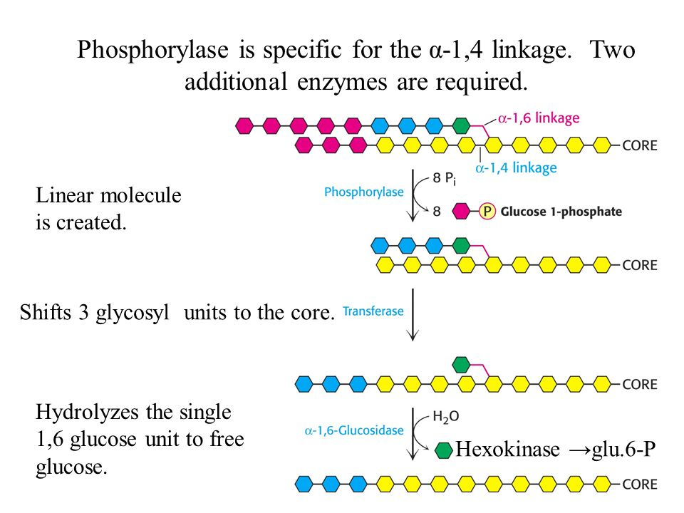 Phosphorylase is specific for the α-1,4 linkage