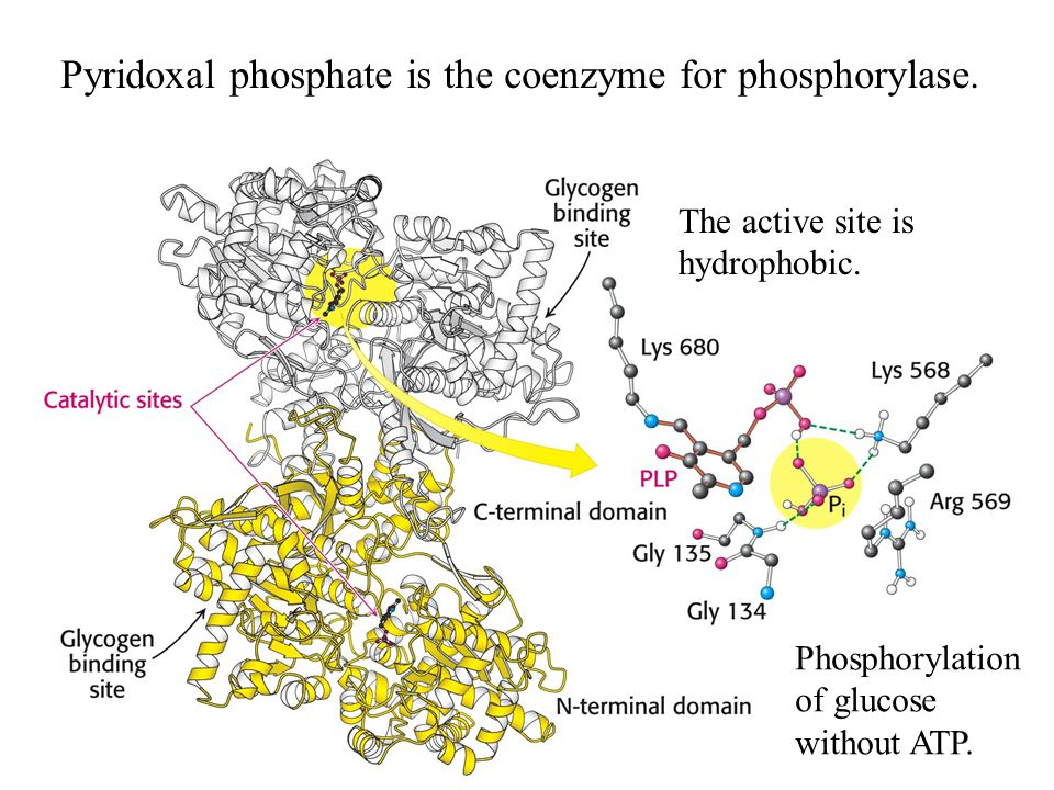 Pyridoxal phosphate is the coenzyme for phosphorylase.