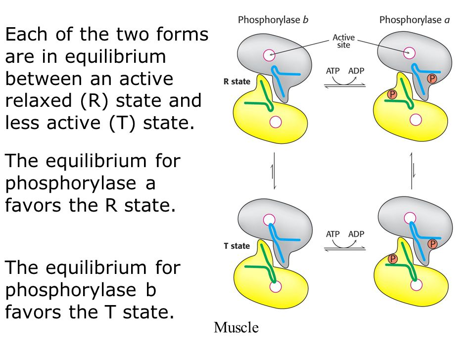 The equilibrium for phosphorylase a favors the R state.