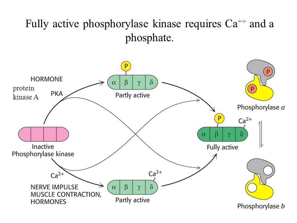 Fully active phosphorylase kinase requires Ca++ and a phosphate.