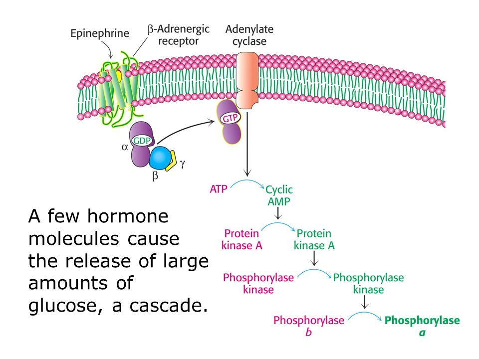 A few hormone molecules cause the release of large amounts of glucose, a cascade.