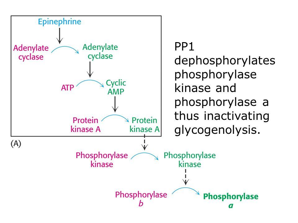 PP1 dephosphorylates phosphorylase kinase and phosphorylase a thus inactivating glycogenolysis.