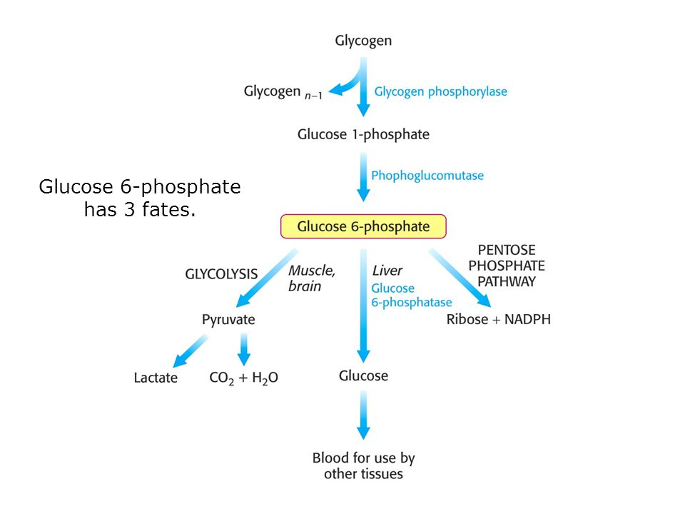 Glucose 6-phosphate has 3 fates.
