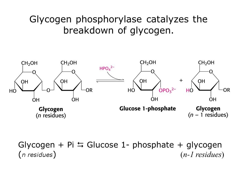 Glycogen phosphorylase catalyzes the breakdown of glycogen.