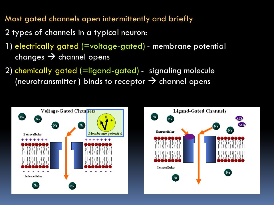 Most gated channels open intermittently and briefly 2 types of channels in a typical neuron: 1) electrically gated (=voltage-gated) - membrane potential changes  channel opens 2) chemically gated (=ligand-gated) - signaling molecule (neurotransmitter ) binds to receptor  channel opens
