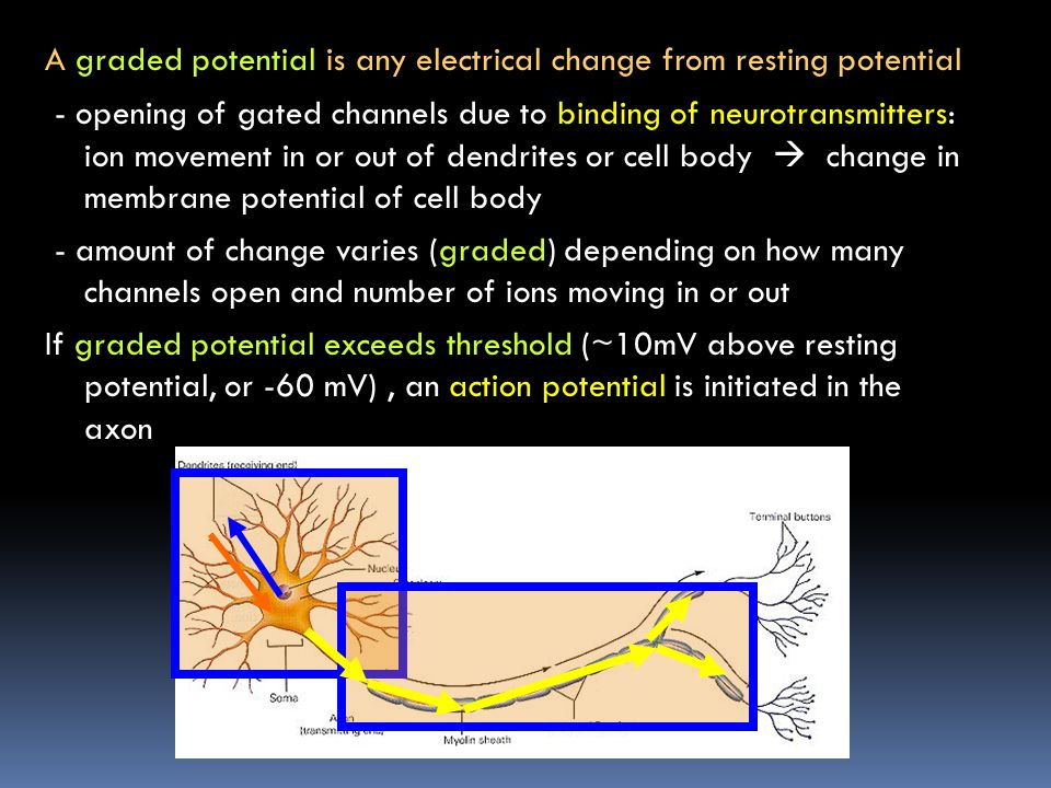 A graded potential is any electrical change from resting potential - opening of gated channels due to binding of neurotransmitters: ion movement in or out of dendrites or cell body  change in membrane potential of cell body - amount of change varies (graded) depending on how many channels open and number of ions moving in or out If graded potential exceeds threshold (~10mV above resting potential, or -60 mV) , an action potential is initiated in the axon