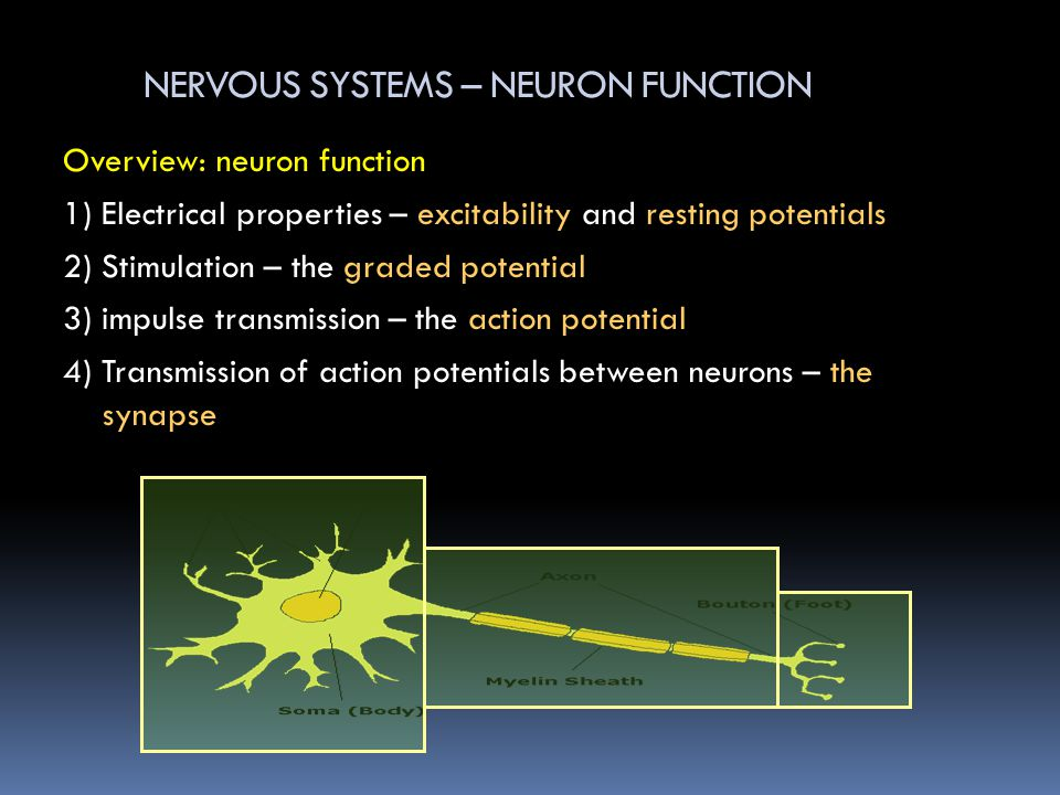 NERVOUS SYSTEMS – NEURON FUNCTION