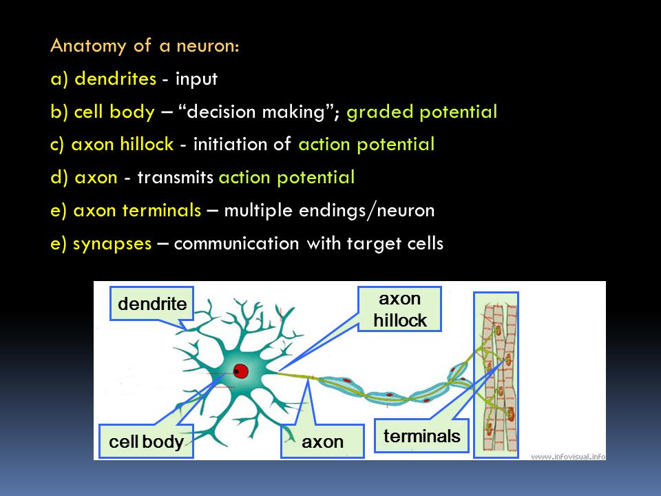 Anatomy of a neuron: a) dendrites - input b) cell body – decision making ; graded potential c) axon hillock - initiation of action potential d) axon - transmits action potential e) axon terminals – multiple endings/neuron e) synapses – communication with target cells