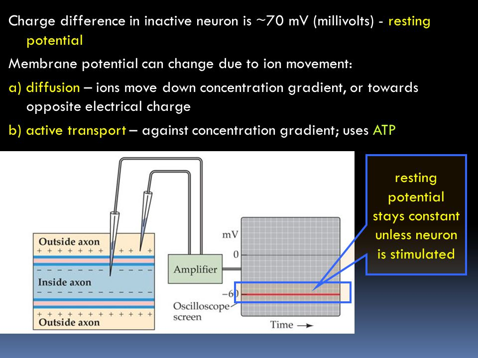 resting potential stays constant unless neuron is stimulated