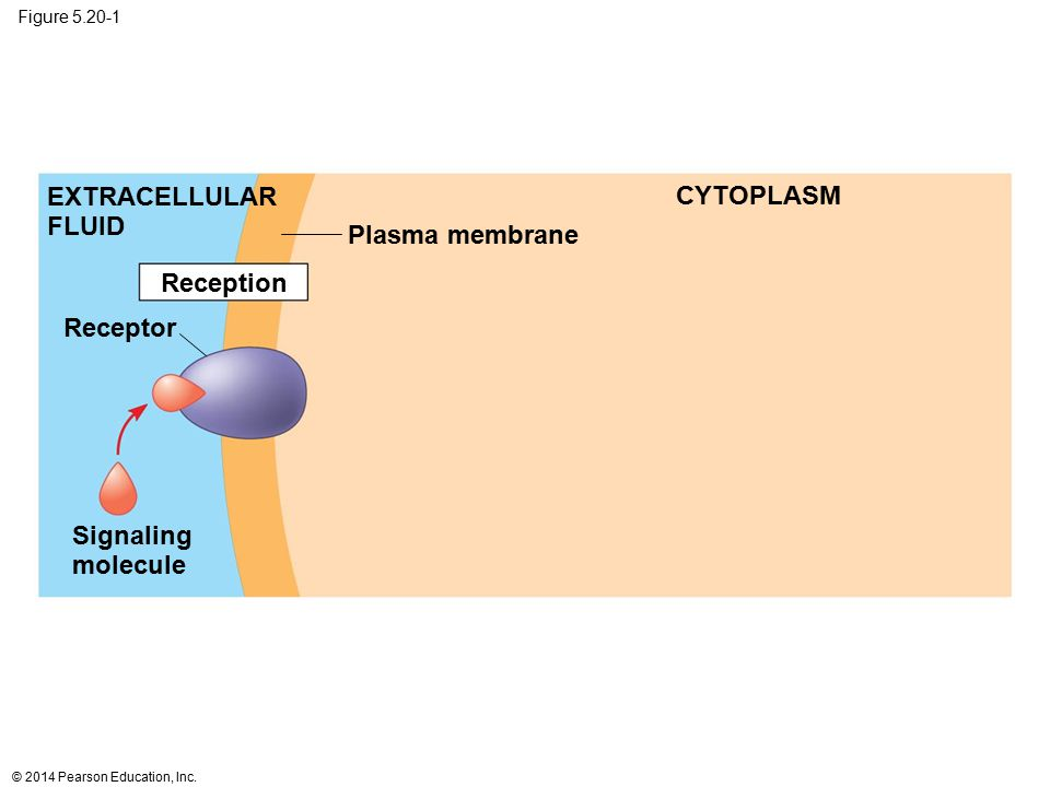 EXTRACELLULAR FLUID CYTOPLASM Plasma membrane Reception Receptor