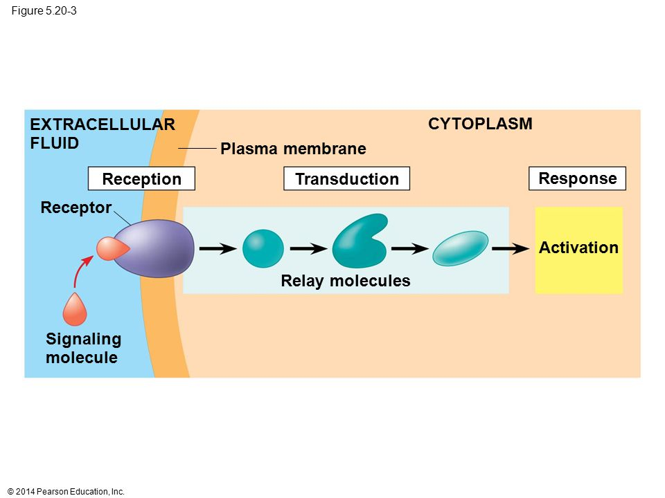 EXTRACELLULAR FLUID CYTOPLASM Plasma membrane Reception Transduction