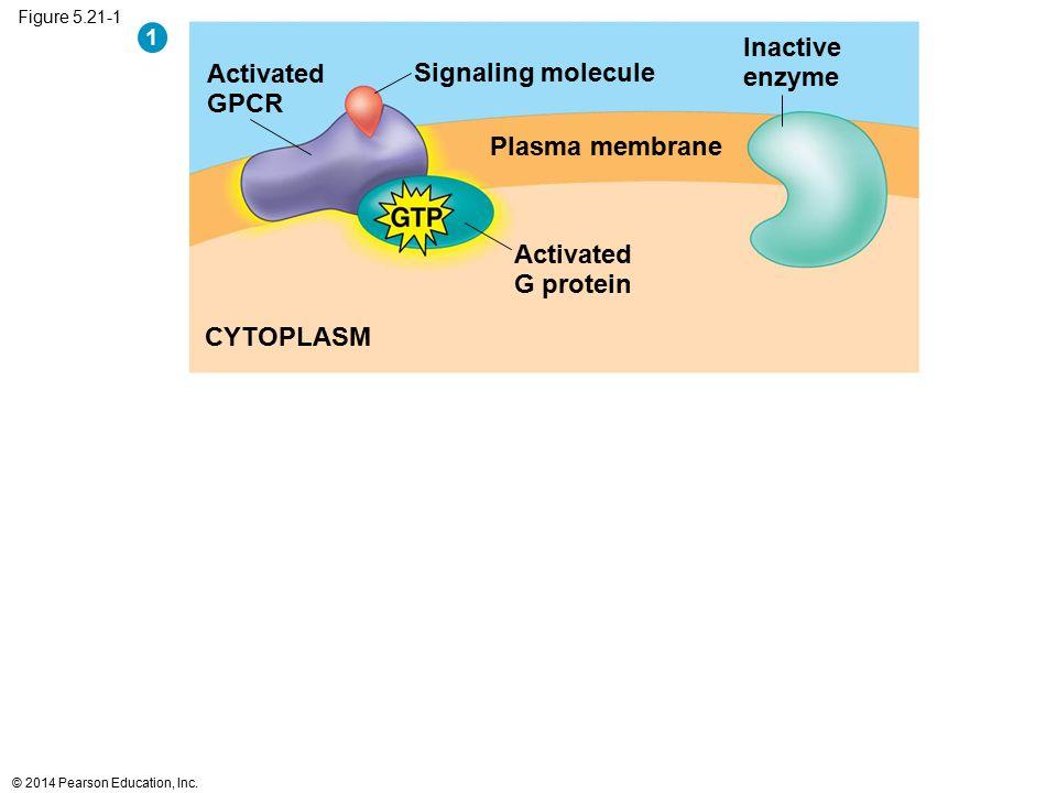 Inactive enzyme Activated Signaling molecule GPCR Plasma membrane