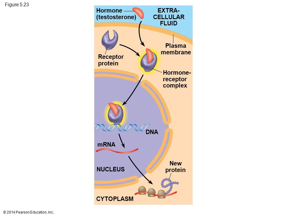 EXTRA- CELLULAR FLUID Plasma membrane New protein