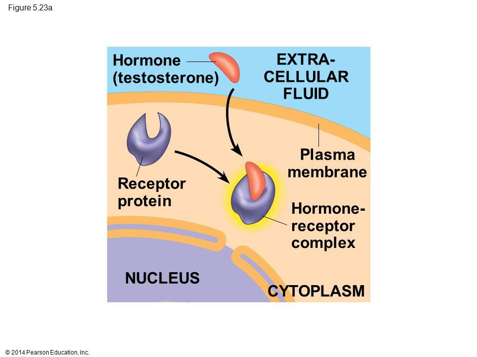 EXTRA- CELLULAR FLUID Plasma membrane