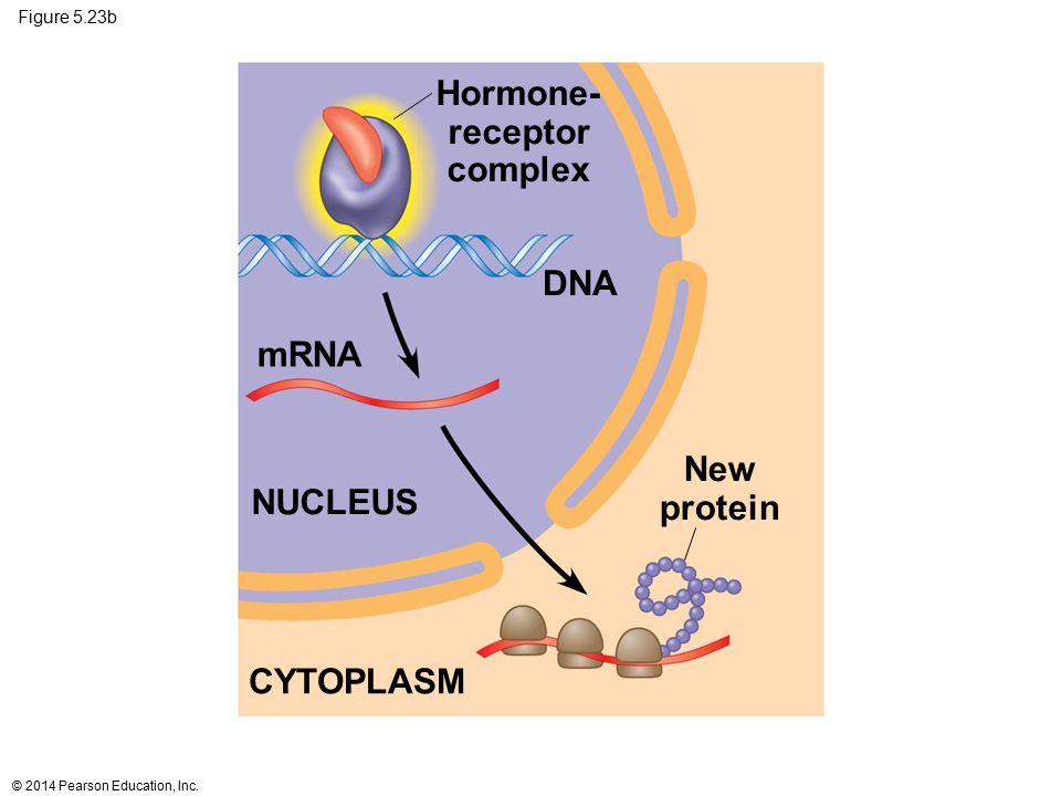 Hormone- receptor complex New protein