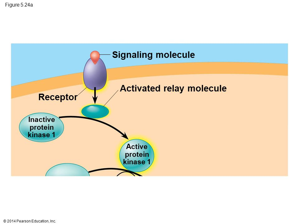 Activated relay molecule Receptor
