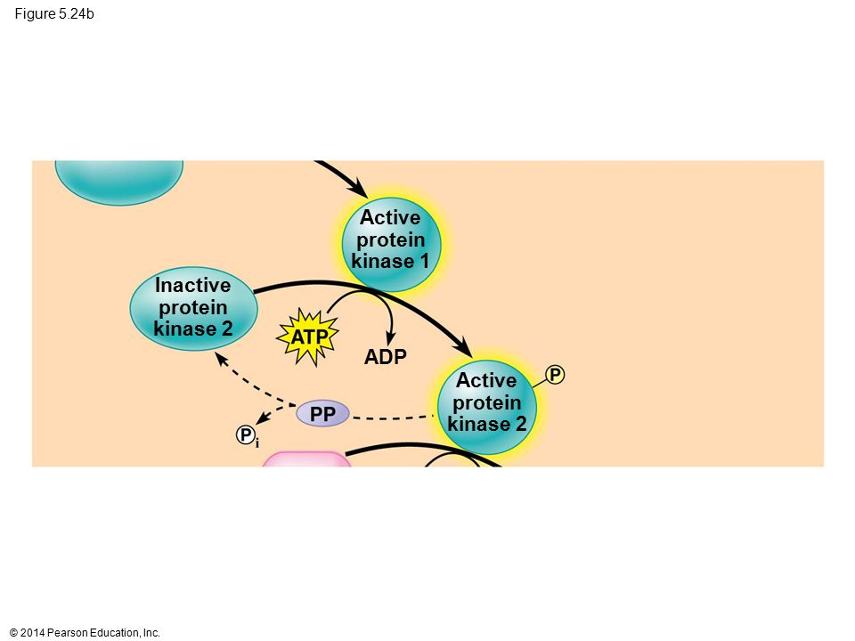 Active protein kinase 1 Inactive protein kinase 2 ADP Active protein
