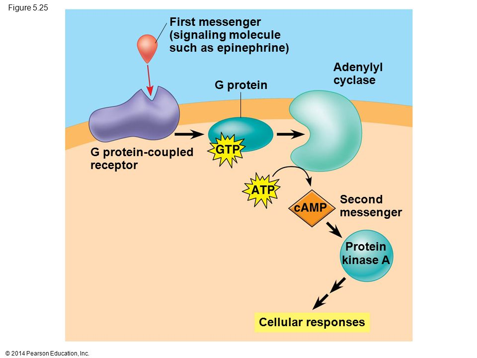 First messenger (signaling molecule such as epinephrine) Adenylyl