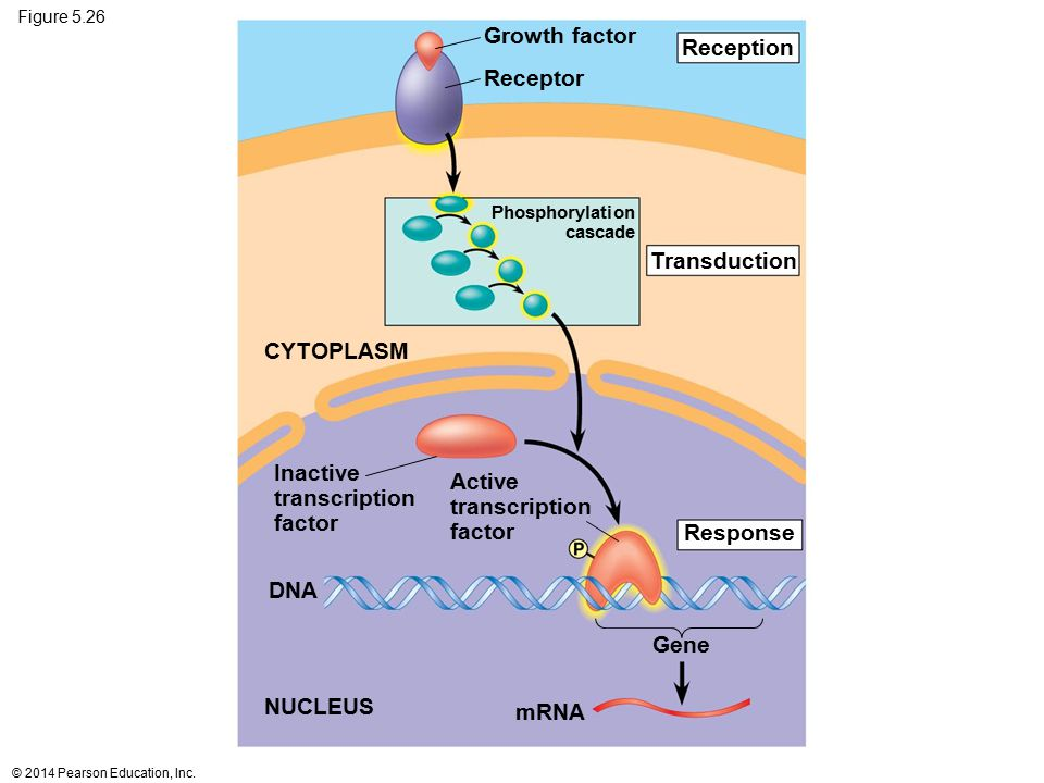 Growth factor Reception Receptor Transduction CYTOPLASM Inactive
