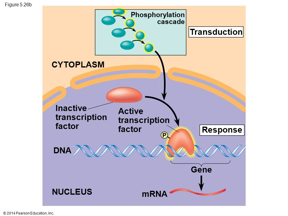 Transduction CYTOPLASM Inactive Active transcription transcription