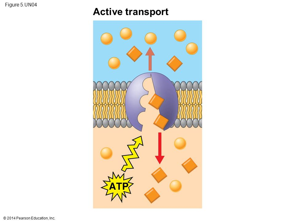 Active transport Figure 5.UN04