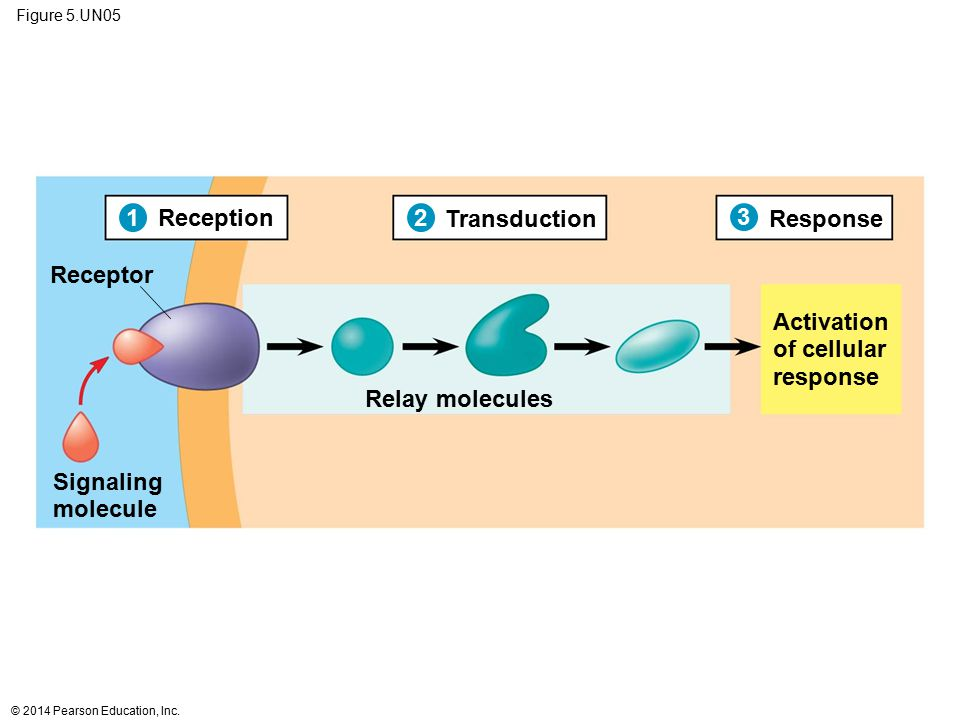1 Reception 2 Transduction 3 Response Receptor Activation of cellular