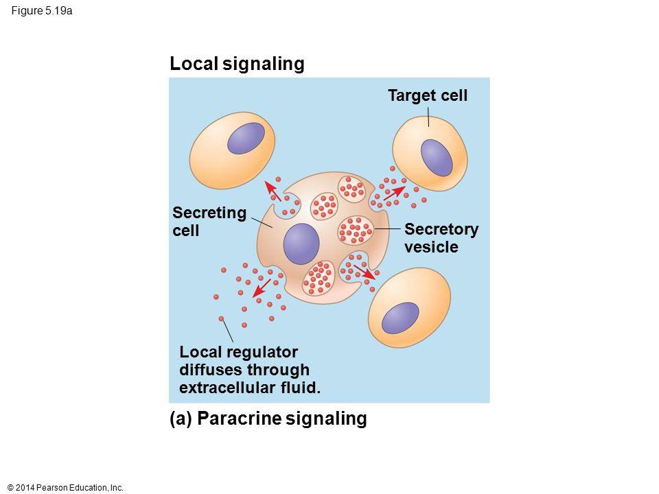 (a) Paracrine signaling