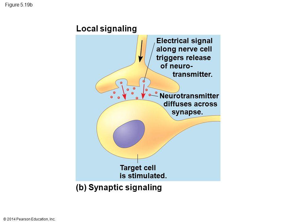 (b) Synaptic signaling