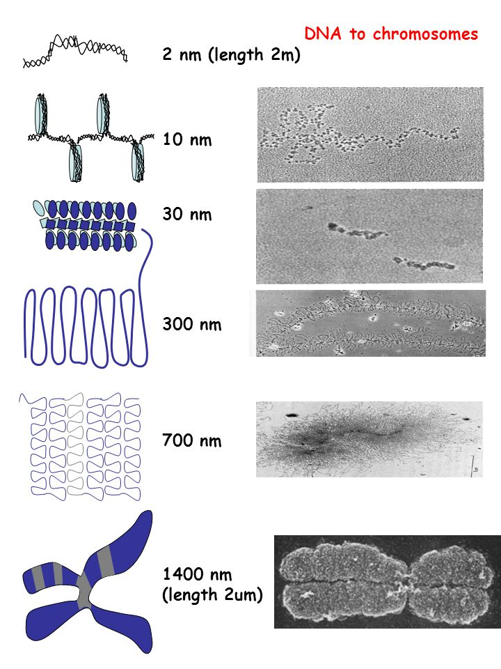 DNA to chromosomes 2 nm (length 2m) 10 nm 30 nm 300 nm 700 nm 1400 nm (length 2um)