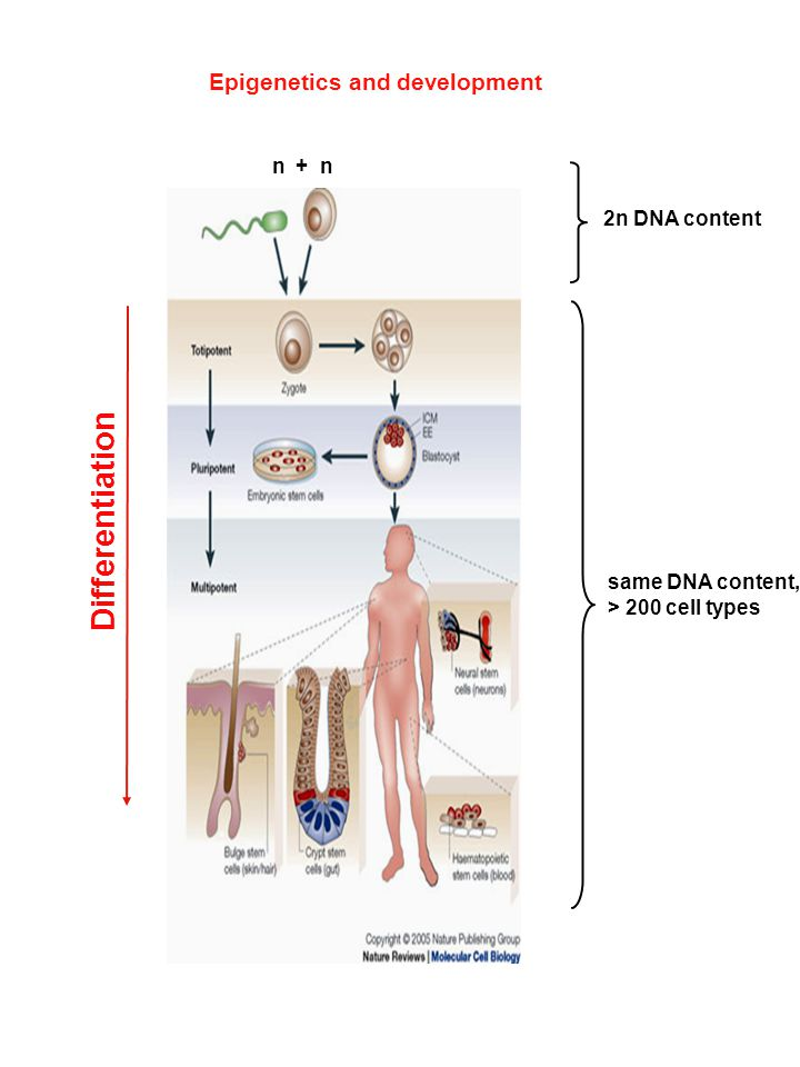 Differentiation Epigenetics and development n + n 2n DNA content