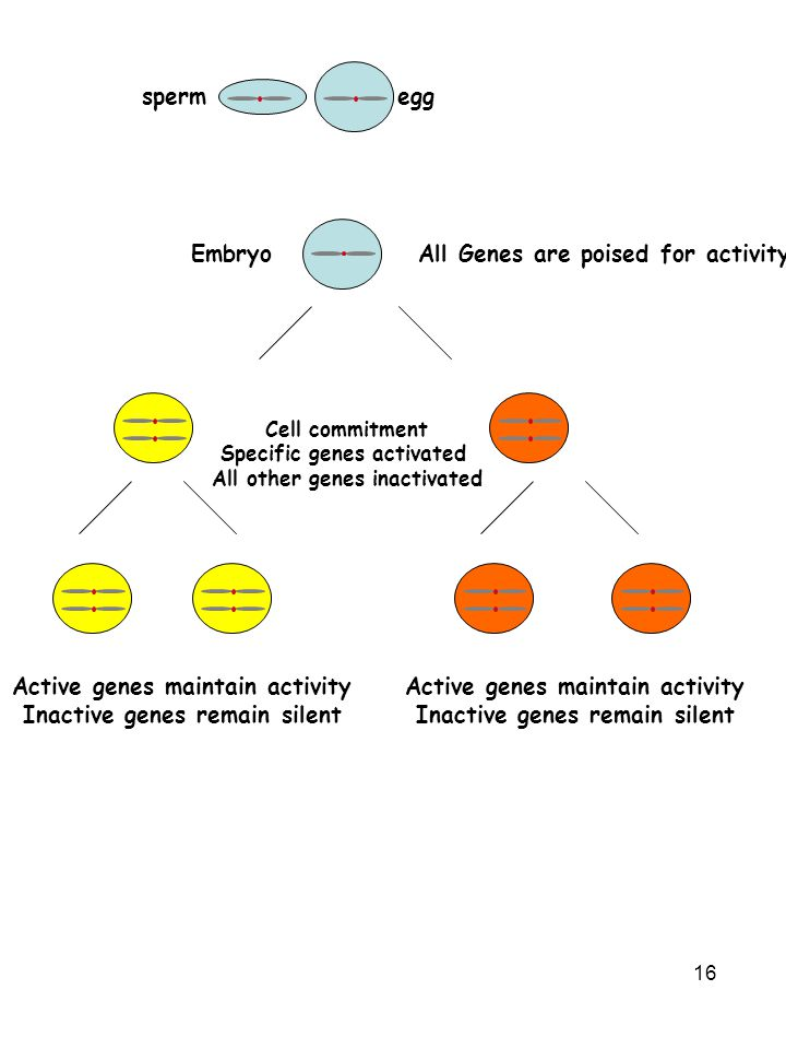 All Genes are poised for activity