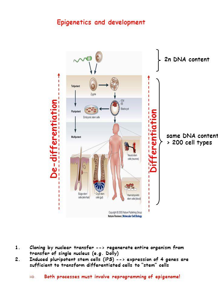 De-differentiation Differentiation Epigenetics and development