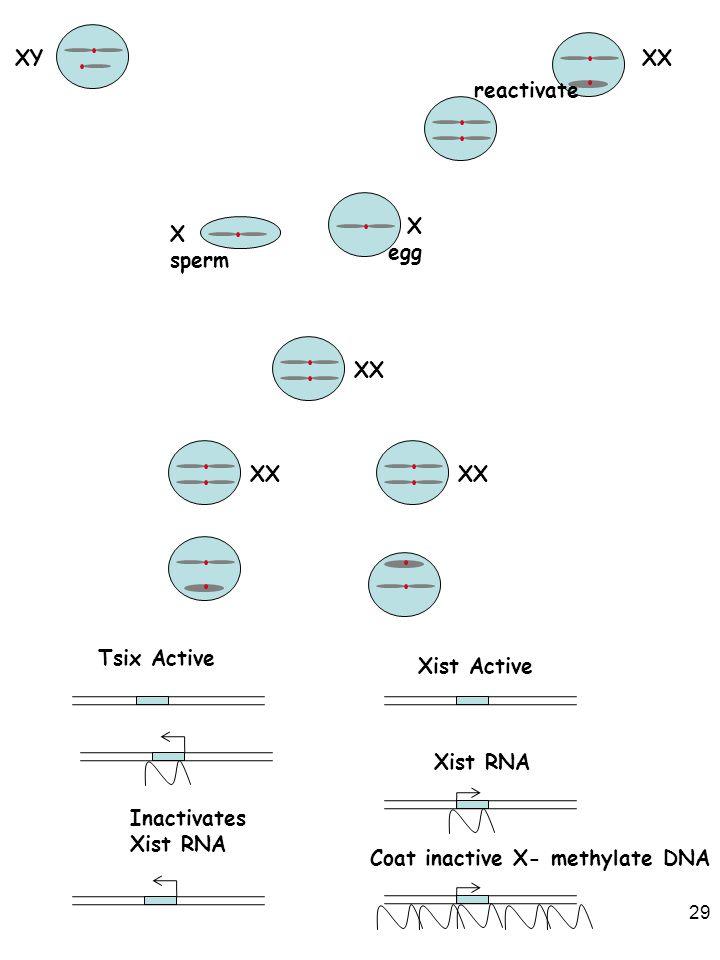 XY XX. reactivate. X. egg. X. sperm. XX. XX. XX. Tsix Active. Xist Active. Xist RNA. Inactivates.