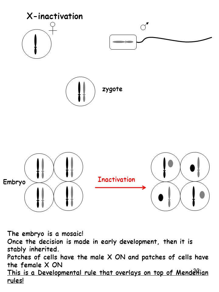 X-inactivation zygote Inactivation Embryo The embryo is a mosaic!